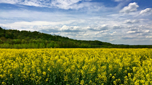 Agronomics of sunflower and winter canola