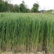 Switchgrass a source of biomass energy