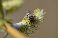 Willow pollinator