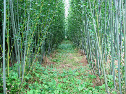 shrub willow biomass energy crop in the third growing season at SUNY-ESF